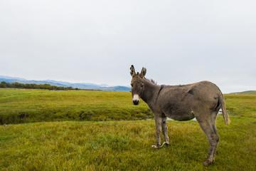 Donkey, Equus africanus asinus, standing on field against clear sky Fotoväggar