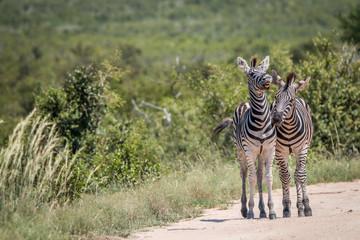Two bonding Zebras.