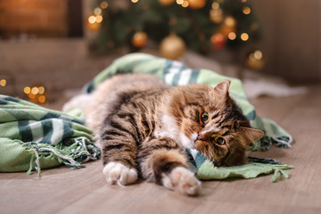 Tabby and happy cat. Christmas season 2017, new year