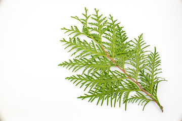 thuja leaf on white background