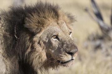 Lion resting in Savuti Botswana