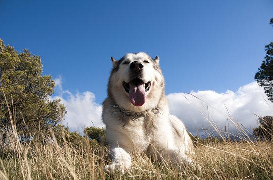hermoso perro de Raza alaskan malamute color gris lobo