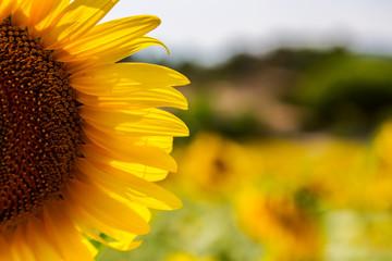 A beautiful sunflower field near Valensole