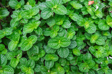 peppermint,mint plant grow at vegetable garden