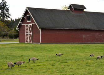 Old Red Steilacoom Barn with Canadian Geese Foraging For Food in the Meadow in the Foreground