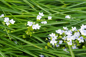 Veronica filiformis or speedwell little white and blue flowers in grass