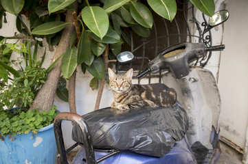 Charming little calico cat smiling from his perch on an old weathered scooter parked in an alley in Bodrum, Turkey