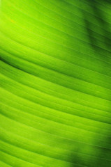 Closeup banana leaf, Southeast Asia plant concept and dark and light texture idea