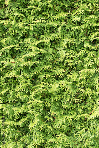 lebensbaum thuja scheinzypresse hecke stock photo and. Black Bedroom Furniture Sets. Home Design Ideas