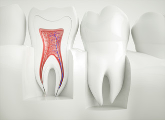 Anatomy of healthy teeth - 3d rendering