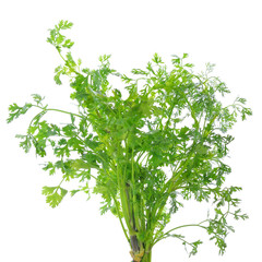 coriander leaves over white background