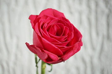 Macro detail of a red rose flower as a symbol of love