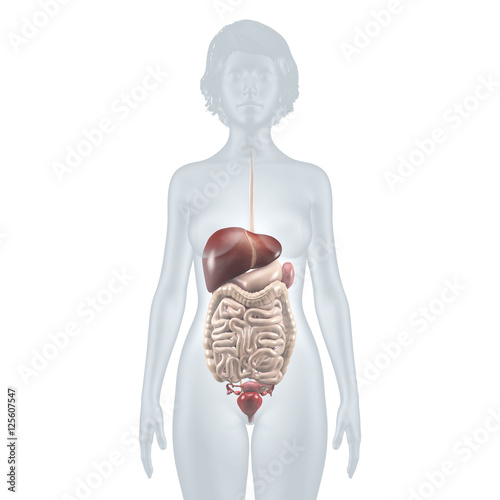 Innere Organe: Verdauungstrakt – anatomische Illustration ...