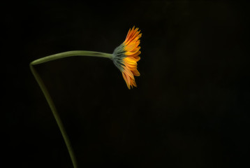 Orange Gerbera on green  background