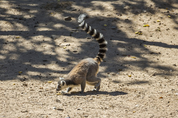 Lemurs playing around together in safari Park