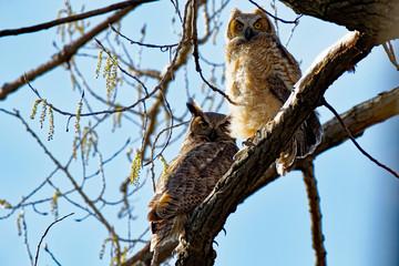 Back lit Great Horned Owlets