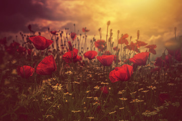 poppies field and sun