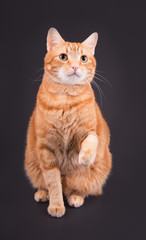 Orangetabby cat sitting against dark gray background, with his paw up in air