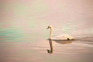 Swan in calm pastel water