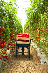 harvest of tomatoes in the greenhouse