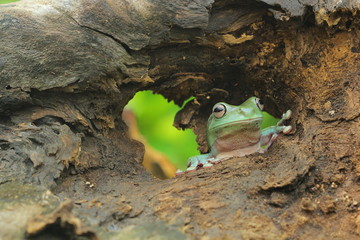 Tree frog looking through hole in a wooden log, Indonesia