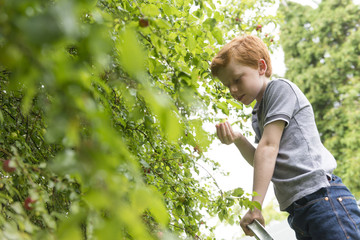 A ten year old by picking plums from a tree.