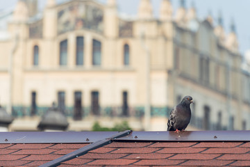 Grey City Pigeon Standing On Red Tile Roof
