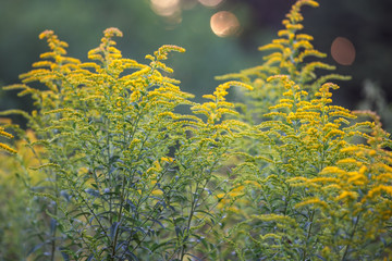 Goldenrod Yellow Flowers Close Up Picture