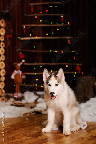 husky breed dog sitting against a background of christmas decorations