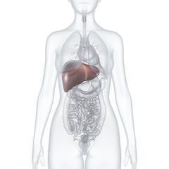 Leber: Anatomische 3D-Illustration – weiblicher Oberkörper