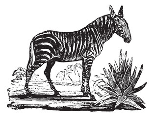 Zebra, vintage engraving.