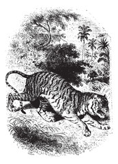 Tiger in forest, vintage engraving.
