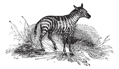 Young Zebra, vintage engraving.