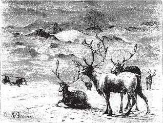 Reindeers, vintage engraving.
