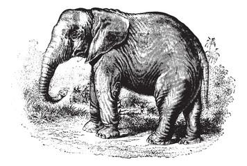Elephant, vintage engraving.