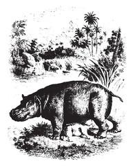 Hippopotamus, vintage engraving.