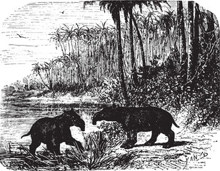Two Anteaters in forest, vintage engraving.