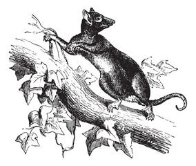 Opossum or Possum, vintage engraving.