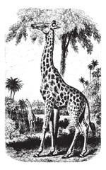 Giraffe, vintage engraving.