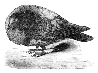 Pigeon after ablation of the cerebral lobes, vintage engraving.