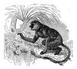 Proboscis monkey langur, vintage engraving.
