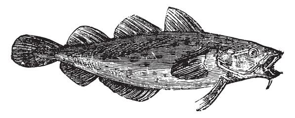 Cod fish or Gadus spp.