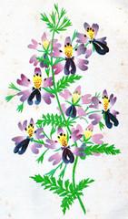 Schizanthus pinnatus, vintage engraving.