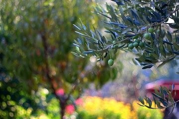Olive on a tree in a garden. Selective focus, beautiful colourful bokeh.