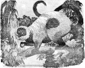 Ring-tailed lemur, vintage engraving.
