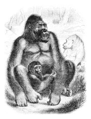 The Gorilla, vintage engraving.