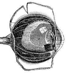 Anteroposterior Section of the Human Eye, vintage engraving