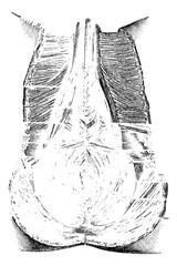 Perineum or Region of the Genitals and Anus, vintage engraving