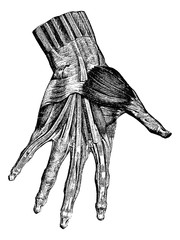 Muscles of the hand (superficial layer), vintage engraving.