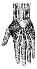 Surface layer of the hand (palmar surface), vintage engraving.